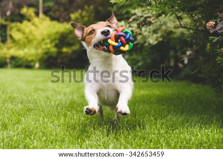 Jack Russell Terrier dog running with a colorful ball #342653459