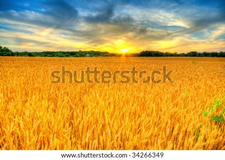 Wheat sunset #34266349
