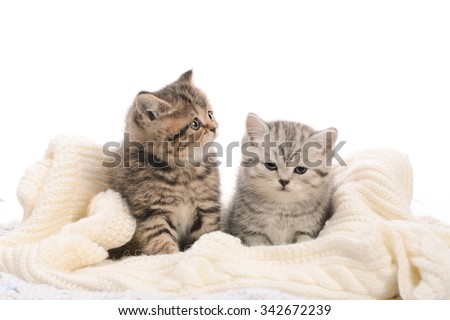 two gray stripy kitties on knitted fabric on white background #342672239