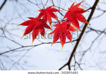 A close up of the autumn branch of maple with red leaves. #342895685
