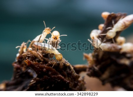 close-up worker and nasute termites on decomposing wood #342898229