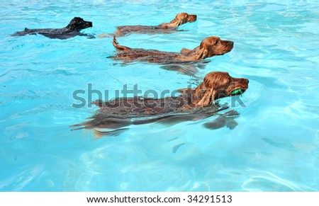 four cocker spaniel playing in a swimming pool #34291513