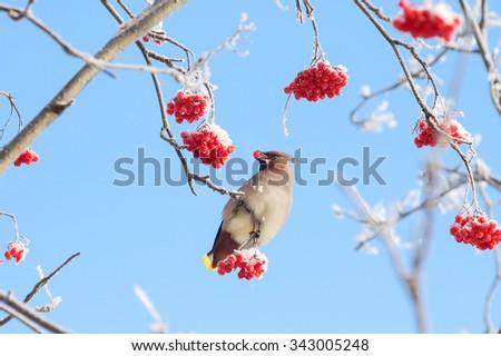 Bird waxwing eats frozen rowan on background of sky #343005248