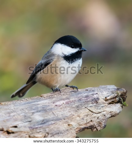 Black-Capped Chickadee in Fall #343275755