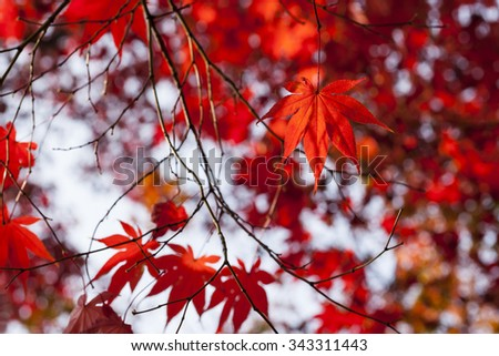 A close up of the autumn branch of maple with red leaves.  #343311443
