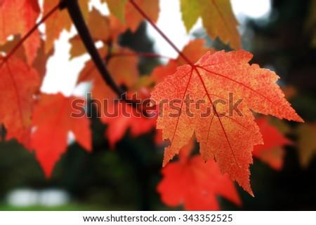 closeup of autumn leaves  #343352525