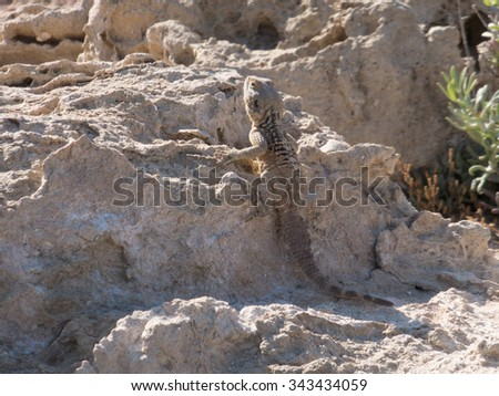 Lizard on a rocky beach near Protaras, Cyprus #343434059