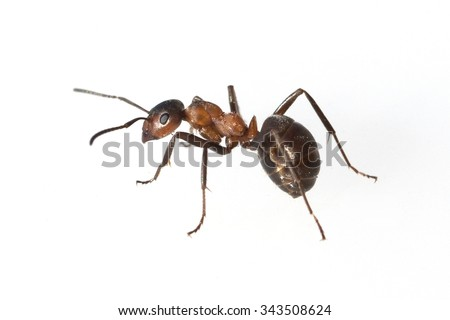 Formica; rufa; Red; wood ant Royalty-Free Stock Photo #343508624