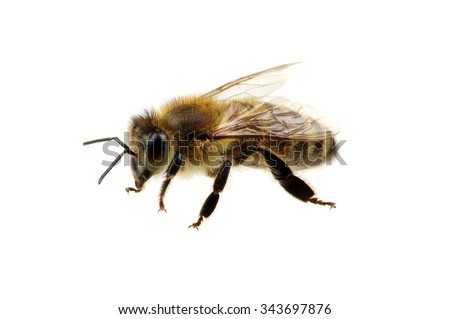 Bee isolated on the white #343697876