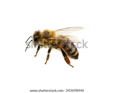 Bee isolated on the white #343698446