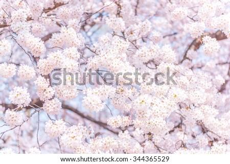 Sakura #344365529