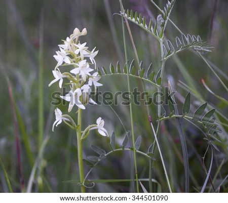 Lesser butterfly-orchid (Platanthera bifolia) growing at meadow side by side with tufted vetch. Photographed at Helgeland coast, Nordland, Norway.  #344501090