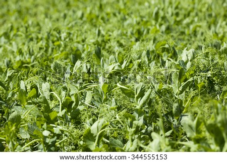 the agricultural field on which grows a small green pea sprout. Spring #344555153