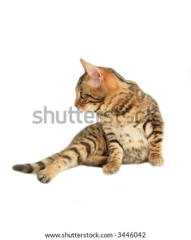 Bengal cat lying down looking to the side isolated on white #3446042