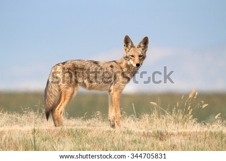 Western Coyote (Canis latrans) in northern California