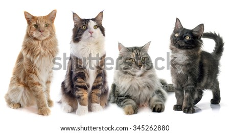 portrait of four purebred  maine coon cats on a white background #345262880