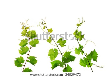 Three isolated branches of fresh grapevine #34529473