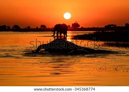 Elephant Sunset A picture of an elephant sunset taken from a boat on the chobe river ,Botswana .