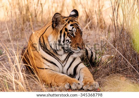 """A picture of a Tiger taken from the back of an Indian elephant , whilst on holiday in Bandhavgarh , India .The picture is called """"a relaxed Tiger """""""