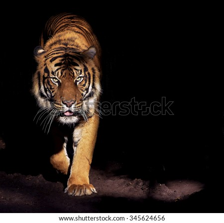 Prowling Tiger Royalty-Free Stock Photo #345624656