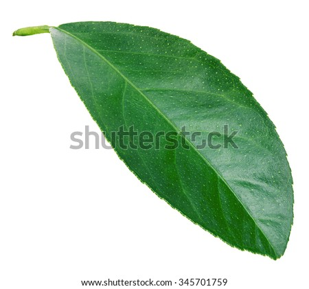 Leaf lemon citrus isolated on white background. #345701759