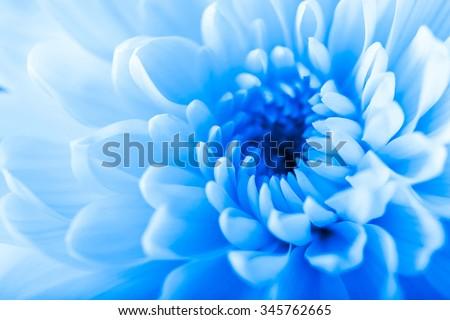 Beautiful blue chrysanthemum  flower, close-up #345762665
