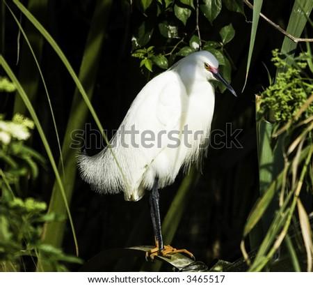 Standing Egret #3465517