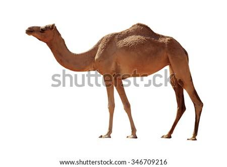 Arabian Camel isolated on white background Royalty-Free Stock Photo #346709216