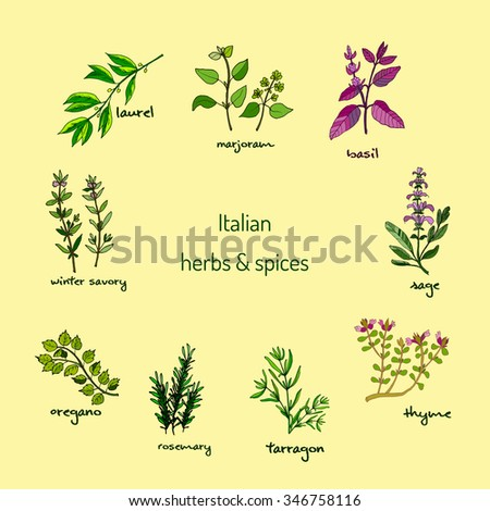 Italian herbs and spices - winter savory, laurel, marjoram, oregano, rosemary, sage, thyme, basil, tarragon. Vector illustration #346758116