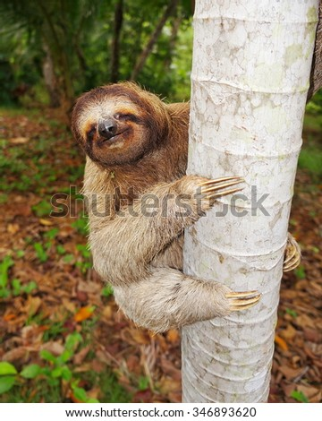 Funny brown-throated three-toed sloth climbing on tree trunk, Central America