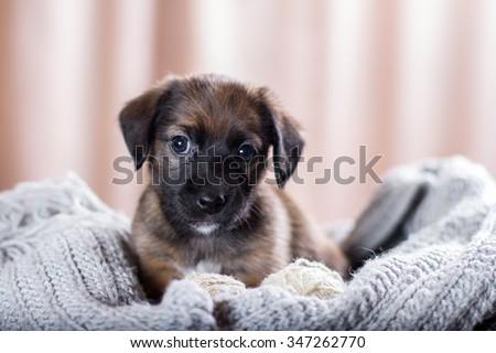 Adorable Dachshund Puppy lying on the wool grey scarf #347262770