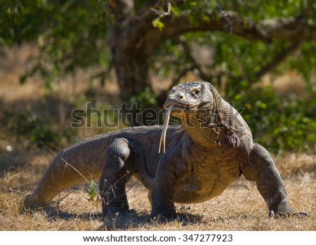 Komodo dragon is on the ground. Interesting perspective. The low point shooting. Indonesia. Komodo National Park. An excellent illustration. #347277923
