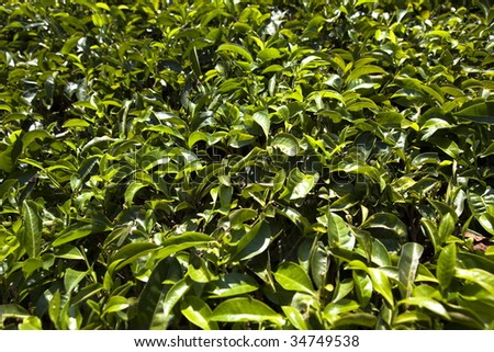 in Nelliyampaty Hills Tea Fields in mumnar Kerala state india #34749538