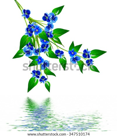 forget-me-flower isolated on white background #347510174