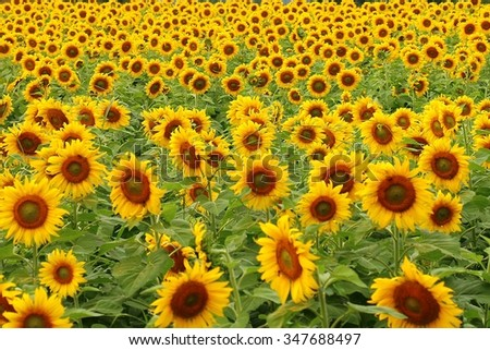 sunflower #347688497