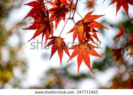 Autumn maple Maple Leaf Chinese Restaurant #347711465