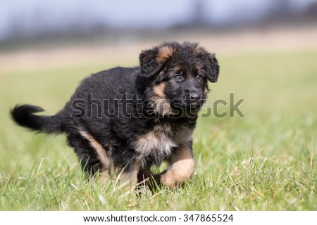 Purebred young German Shepherd dog puppy running around outdoors on a grass field on a sunny spring day.  #347865524