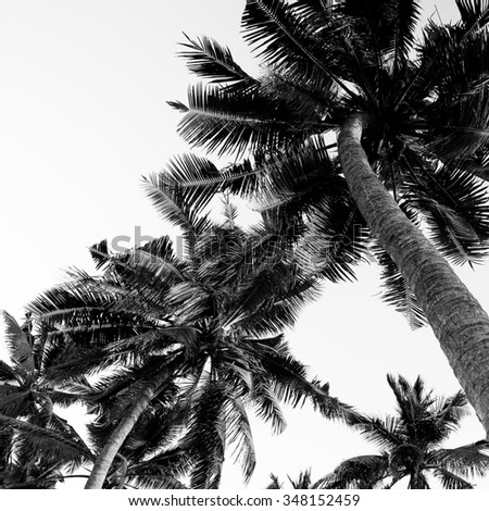 Coconut trees. Black and white photo