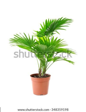 Palm tree (Livistona Rotundifolia) in flowerpot, isolated on white #348359198