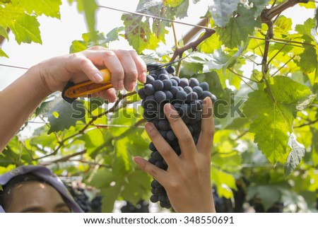 farmer harvested grapes at a vineyard. #348550691