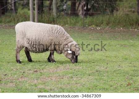 An English Leicester sheep, grazing in the field. #34867309