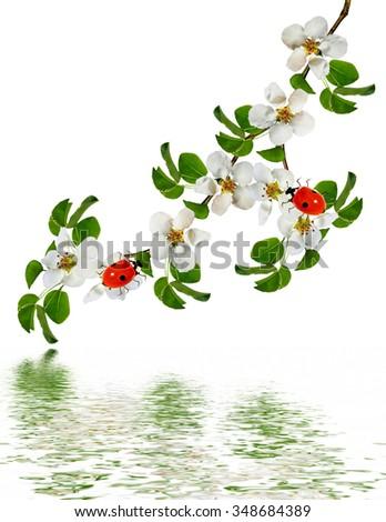 White apple flowers branch isolated on white background. ladybug #348684389