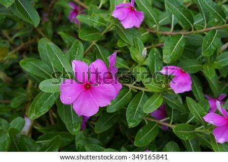 Pink impatiens flowers in bloom in the shade #349165841