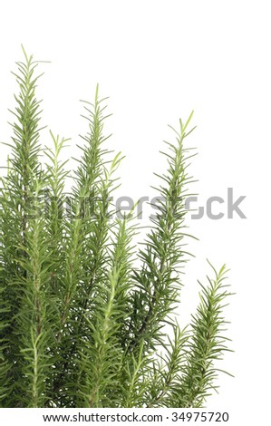 Bunch of rosemary #34975720