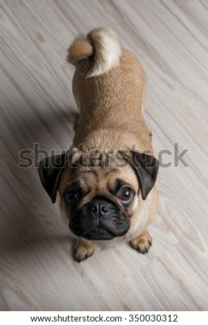 Pug puppy standing on the floor. Photo from the top