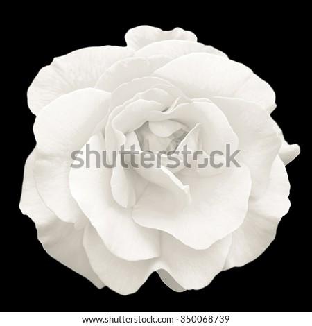 Tender white rose flower macro isolated on black #350068739