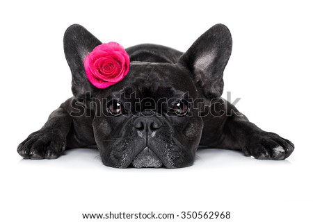 french bulldog  dog with valentines  rose on head , isolated on white background