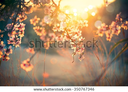 Spring blossom background. Beautiful nature scene with blooming tree and sun flare. Sunny day. Spring flowers. Beautiful Orchard. Abstract blurred background. Springtime #350767346