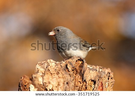 Dark-eyed Junco (junco hyemalis) on a perch in winter #351719525