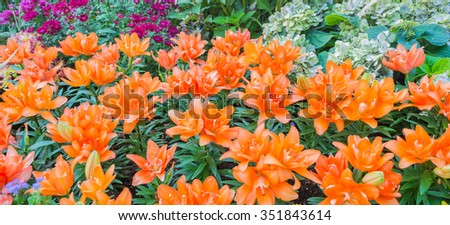image of orange lilly flower in the garden on day time for background. #351843614